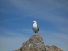 Seagull on the rock (Takaka 2013)