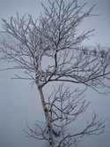 A snowy tree (Norway) resize