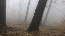 Trees on jaunty angle in the mist (Black Forest, Freiburg) resize