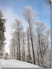Snowy trees (Schauinsland Loipe)