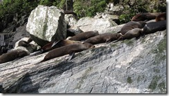 Seals 2 (Milford Sound)