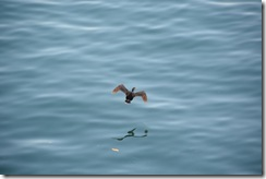 A flying shag (Takaka 2013)