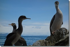 Inquisitive shags (Takaka 2013)