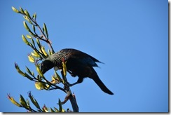 Mr Tui has a feed (Takaka 2013)