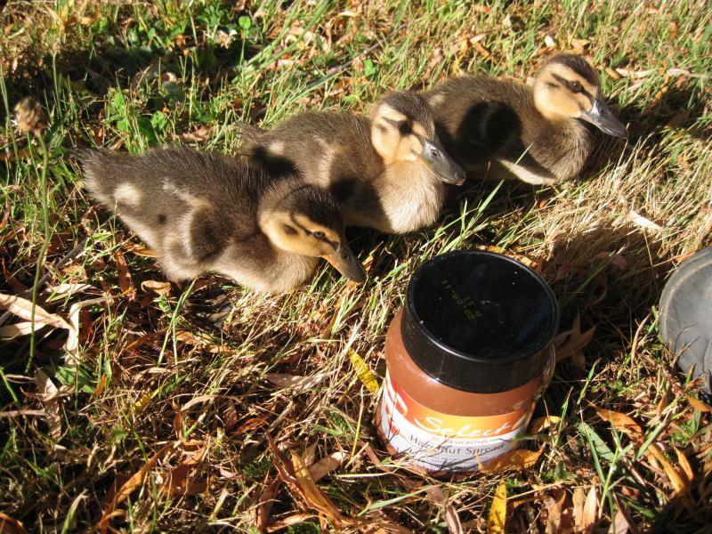 Duckies (Old Mac's Farm)