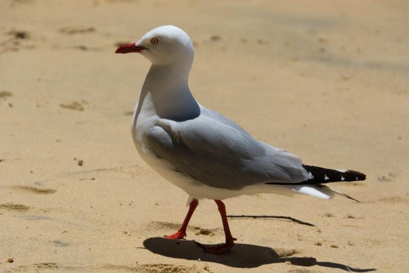 Seagull at Te Puketia (Seakayaking Abel Tasman Dec 2014)