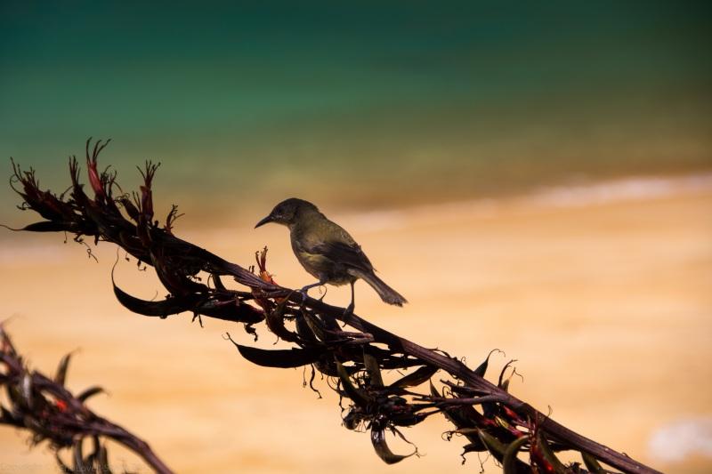 Bellbird looking for nectar (Seakayaking Abel Tasman Dec 2014)
