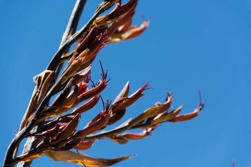 Flax (Seakayaking Abel Tasman Dec 2014)