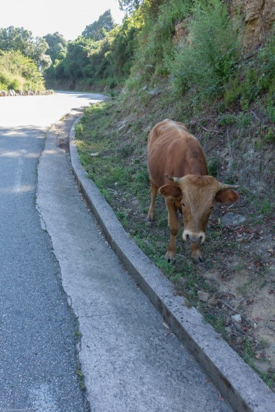 Cow (Corsica)