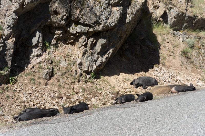 Little pig, little pig (Corsica)