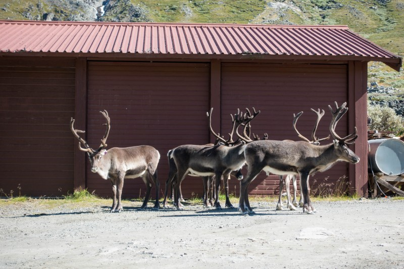 Rudolphs hanging about (Cycle Touring Norway 2016)
