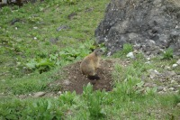 A marmot (Cycling Dolomites)