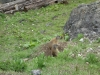 Marmots (Cycling  Dolomites)