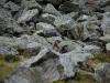 Marmut in the rocks (Fagaras Mountains)