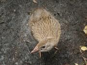 A little weka chick (Abel Tasman NP)