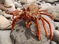 Mr crayfish (Hen Island)