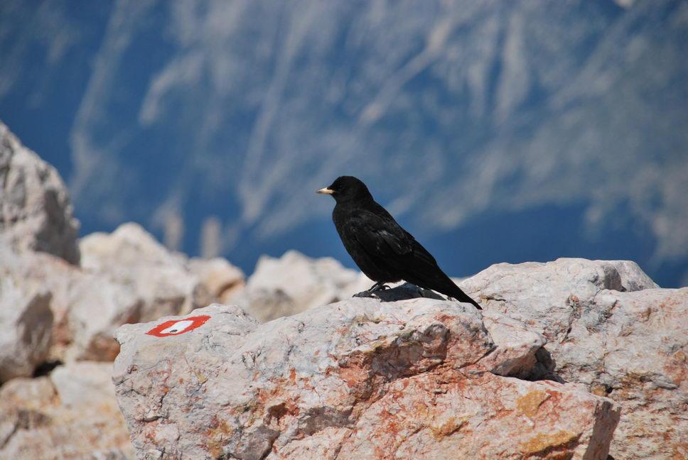Bird (Triglav Nat. Park, Slovenia)