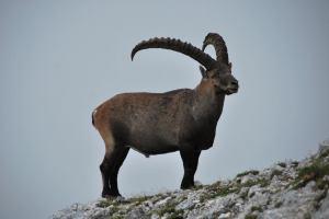 Animal close up (Triglav Nat. Park, Slovenia)