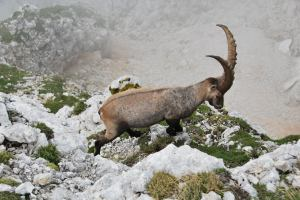 Animal near by (Triglav Nat. Park, Slovenia)