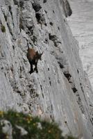 Animal on rocks 2 (Triglav Nat. Park, Slovenia)