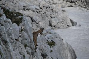 Animal on rocks (Triglav Nat. Park, Slovenia)