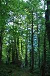 Trees near camp (Triglav Nat. Park, Slovenia)