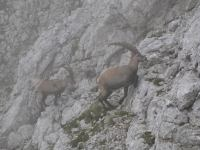 Animals climbing (Triglav Nat. Park, Slovenia)
