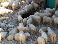 Sheep (Triglav Nat. Park, Slovenia)
