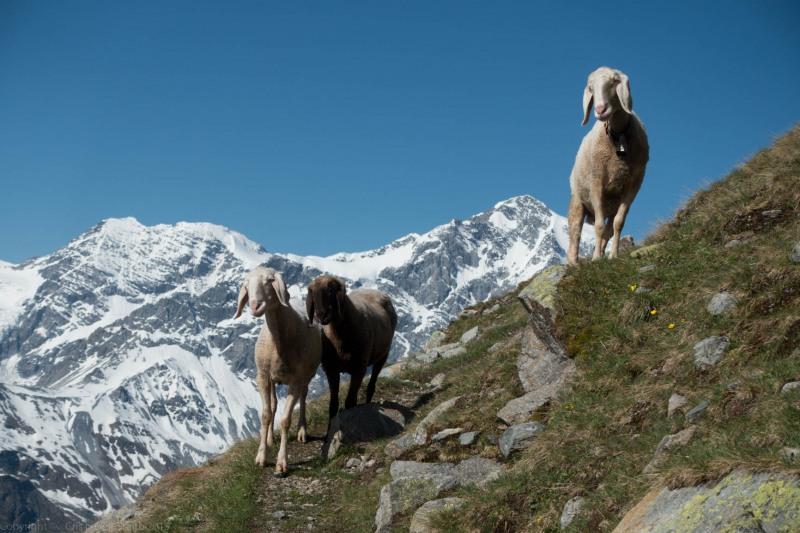 More more more sheep (Düsseldorfer Hütte Tramp)