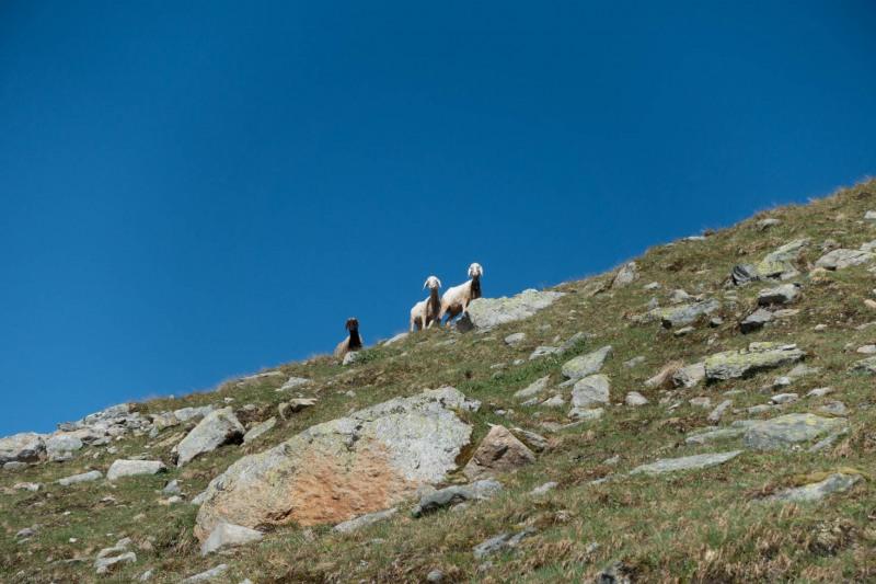 Sheep (Düsseldorfer Hütte Tramp)