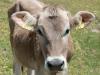 A cow (Düsseldorfer Hütte Tramp)