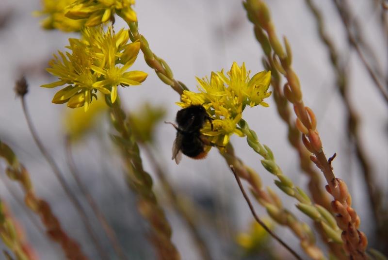 Bumblebee and flowers (Lago di Garda)