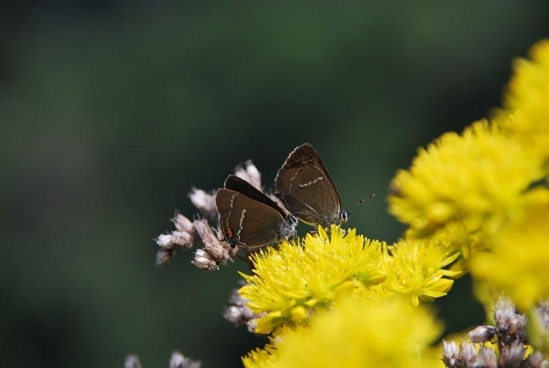 Butterflies and yellow flowers (Lago di Garda)