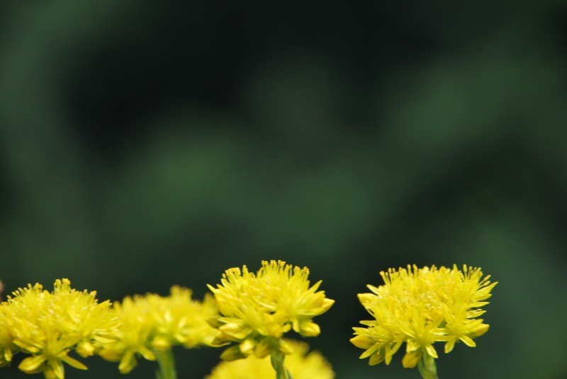 Yellow flowers and green (Lago di Garda)