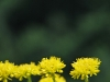 Yellow flowers and green (Lago di Garda)