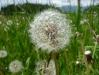Dandelion (Lago di Garda)