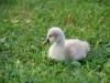 Little swan (Lago di Garda)