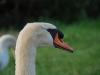 Mother swan (Lago di Garda)