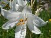 White flower macro (Lago di Garda)
