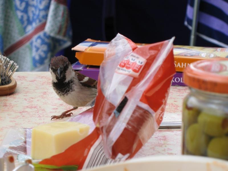 Hungry bird looks for cheese (Lago di Garda, Italy)