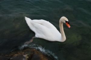 White swan (Lago di Garda, Italy)