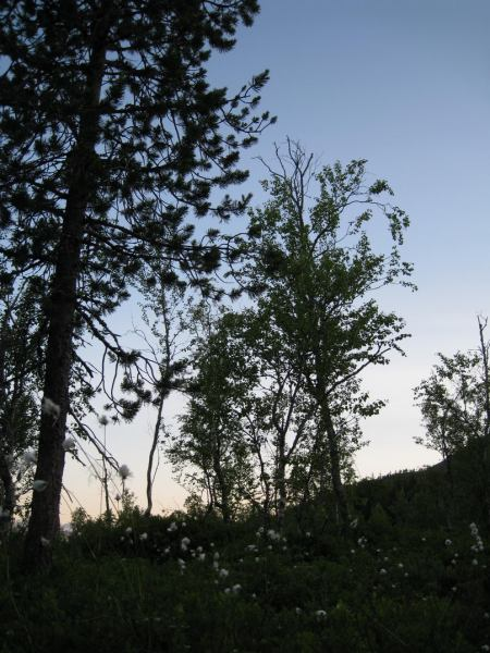 Trees (Bodø, Norway)