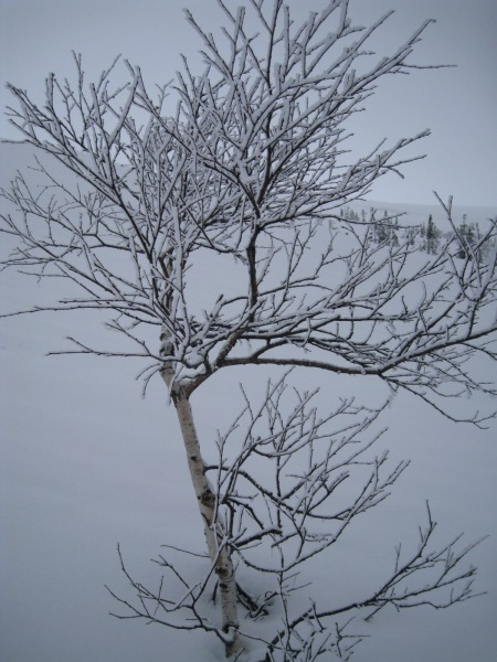 A snowy tree (Norway)