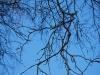 Blue and twiggy