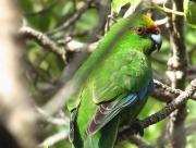 Parakeet close up (Long Island)