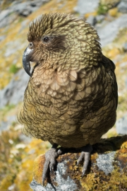 Kea 6 (Rabbit Pass Tramp Dec 2014)