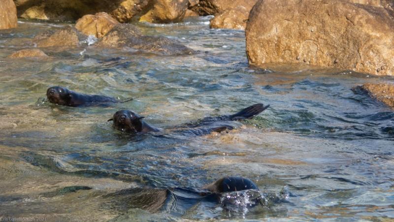 Baby seals (Seakayaking Abel Tasman April 2021)