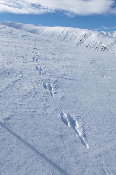 Wallaby tracks (Ski Touring Camp Stream Hut Aug 2021)