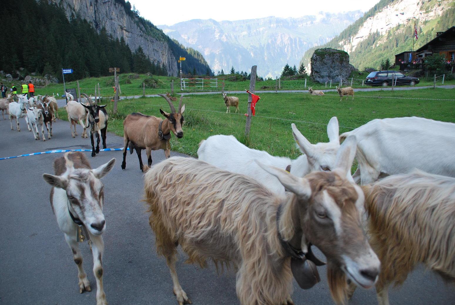 Sheep (Swiss O Week, Switzerland)