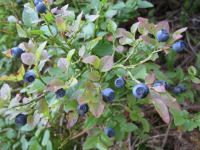 blue-berries-or-not-swiss-o-week-switzerland